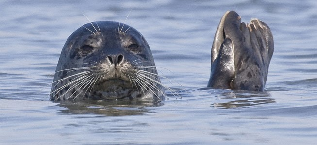 WHISKERS REDUCE DRAG: HARBOR SEALS